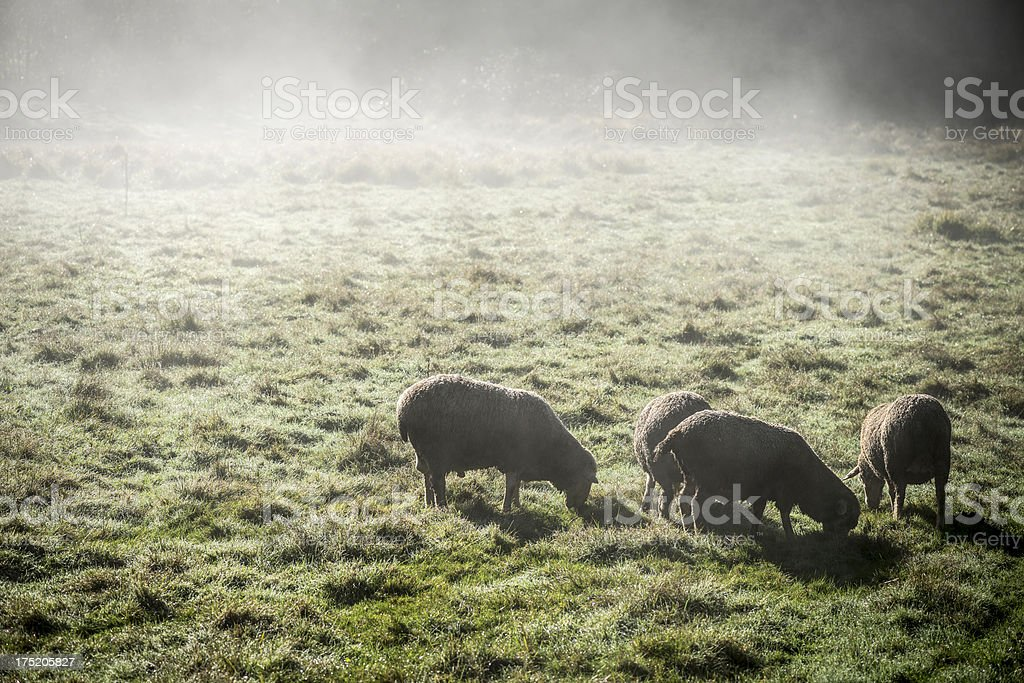 Sheep in morning mist stock photo