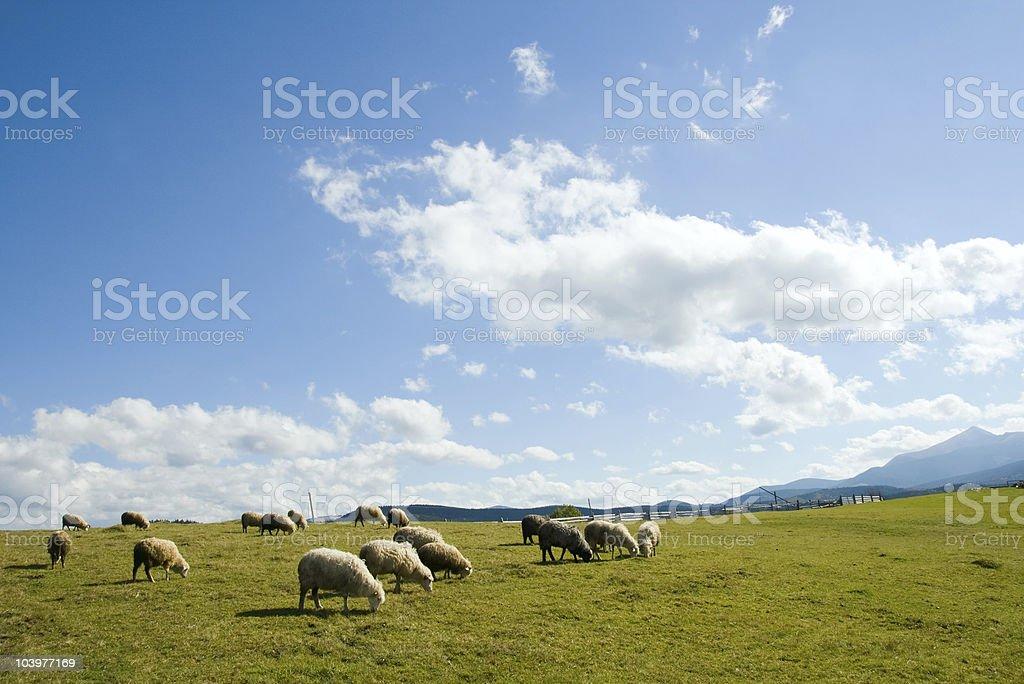Sheep in mountain royalty-free stock photo