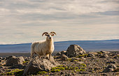 Sheep in Mountains on Iceland