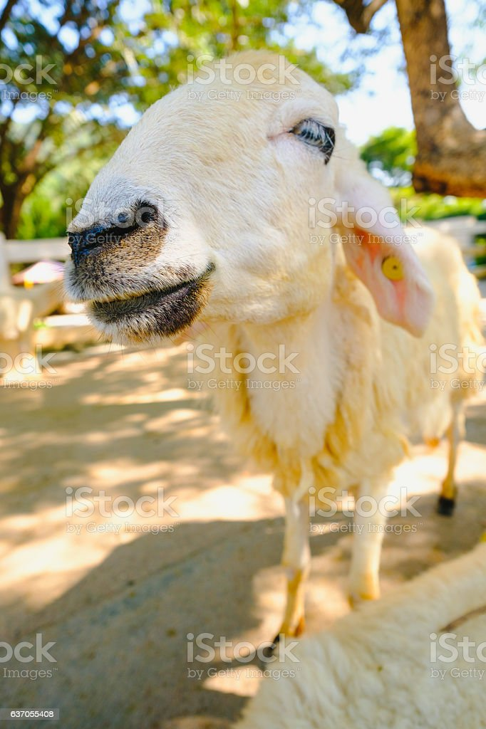 Sheep in nature on  FARM outdoor. stock photo