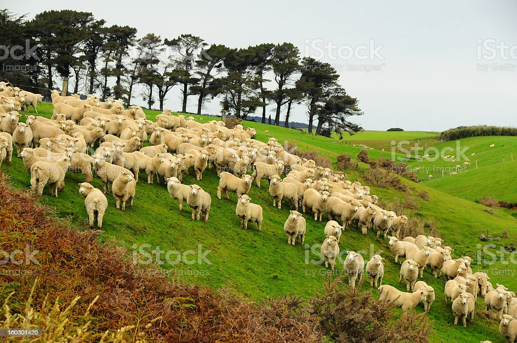 Sheep in new zealand royalty-free stock photo