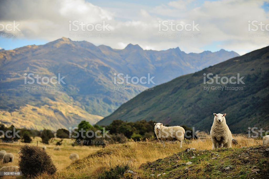 Sheep in New Zealand. stock photo