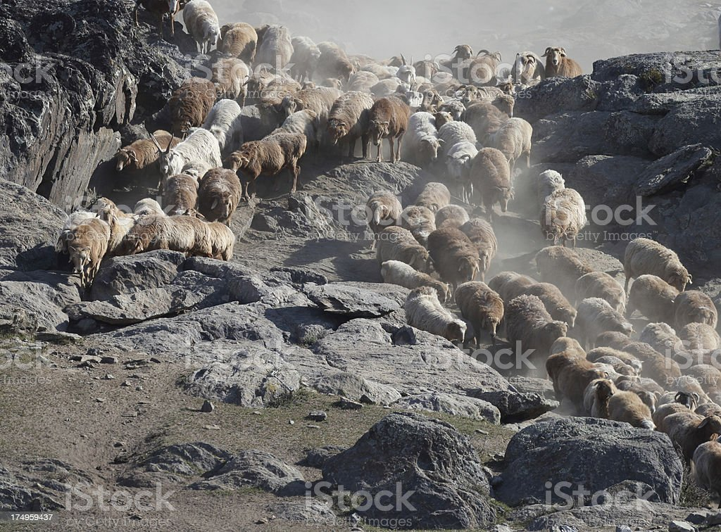 Sheep in Pasture royalty-free stock photo
