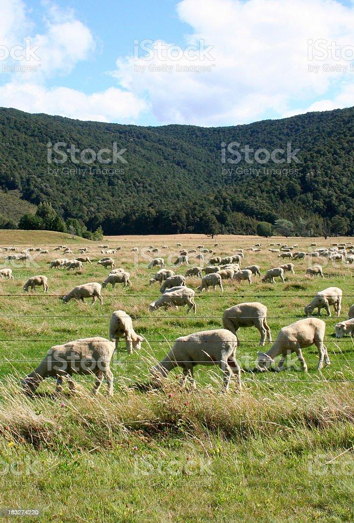 Sheep In Pasture stock photo