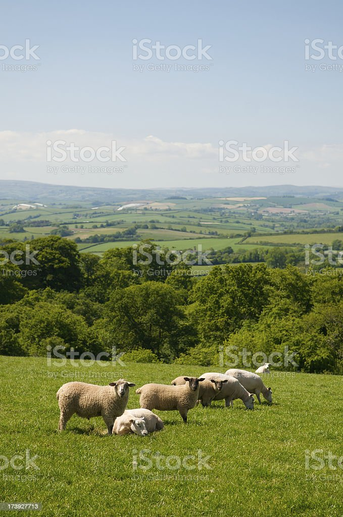 Sheep in Rolling Green Meadow royalty-free stock photo