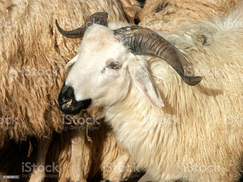 sheep in sheep fold stock photo