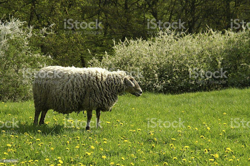 Sheep in Springtime royalty-free stock photo