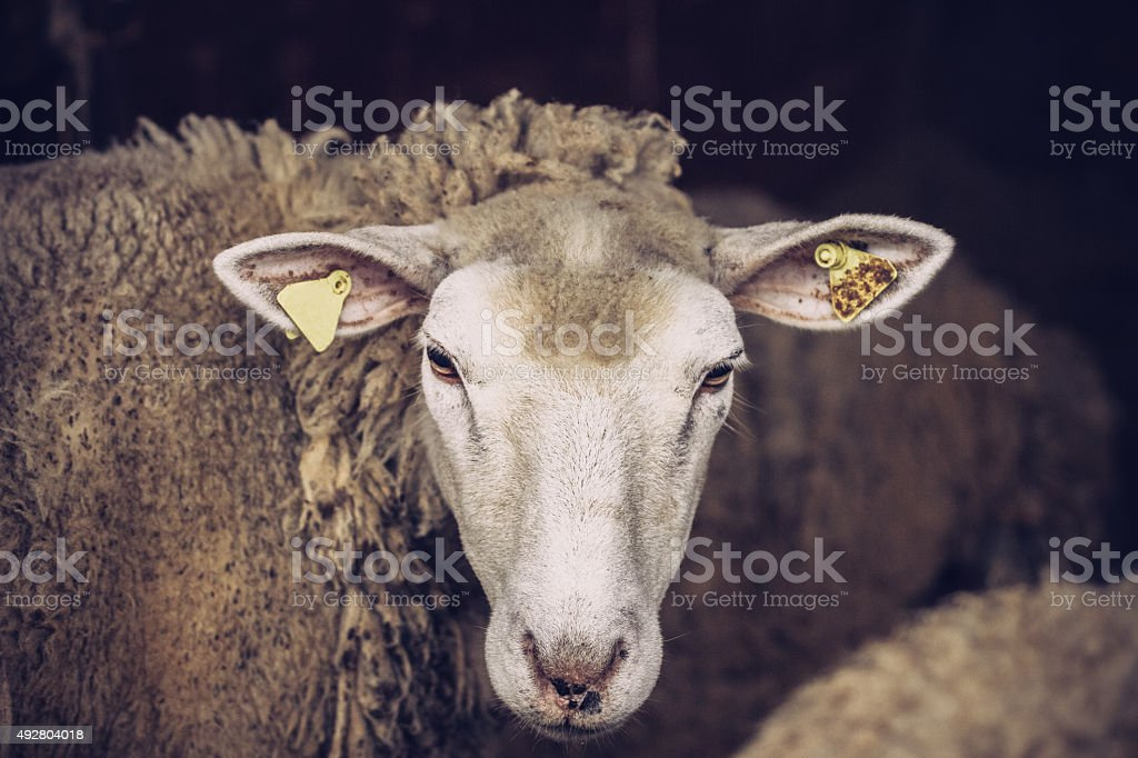 Sheep in Stable stock photo