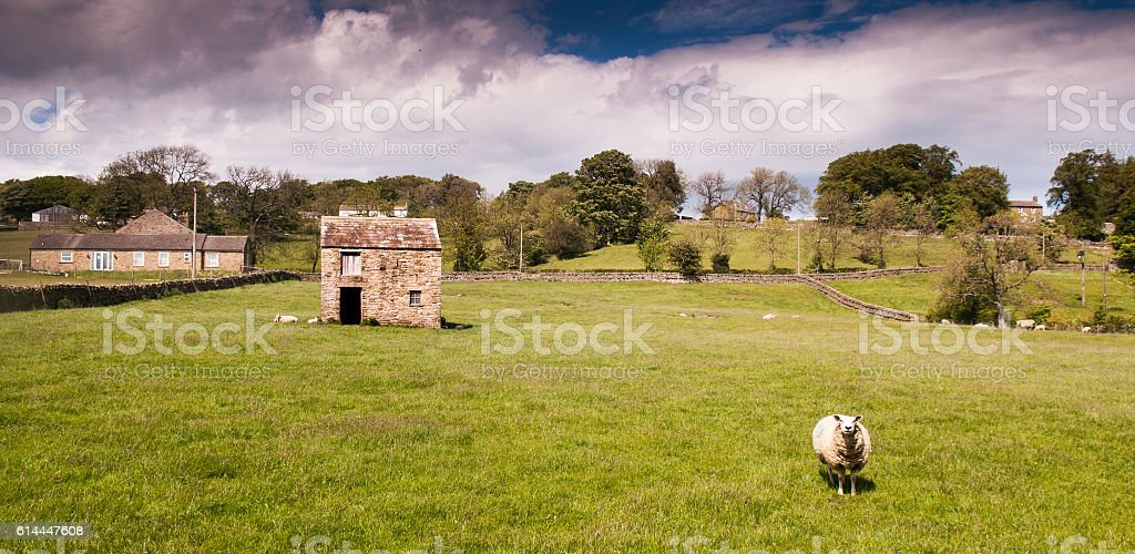 Sheep in Teesdale stock photo