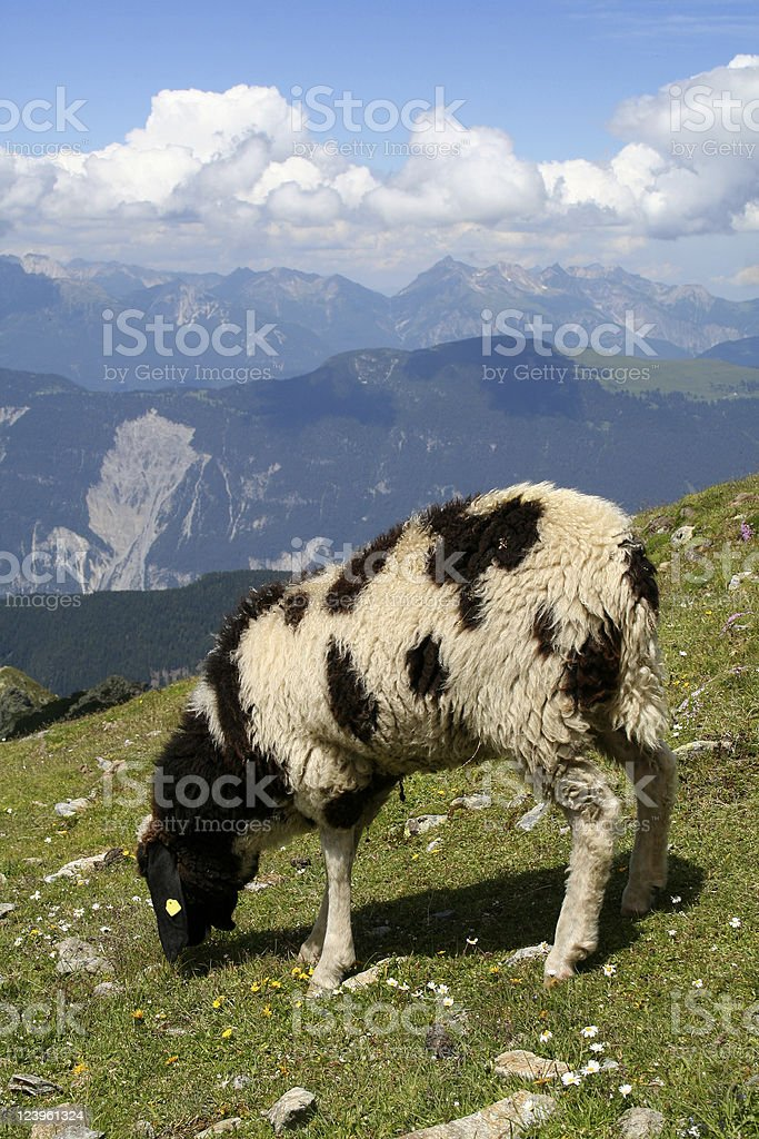 Sheep in the Alps royalty-free stock photo