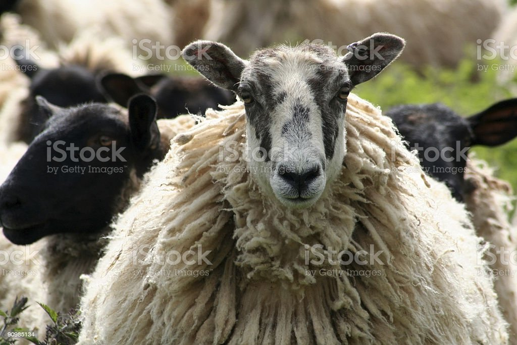 Sheep in the Cotswolds, England stock photo