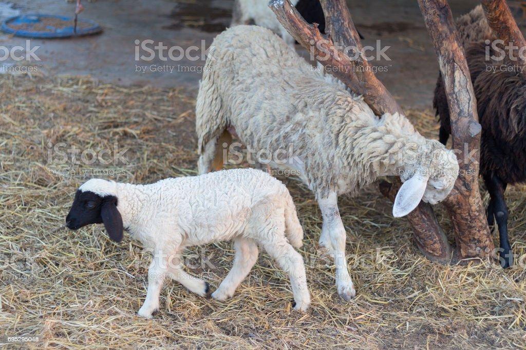 Sheep in the farming outdoor. stock photo