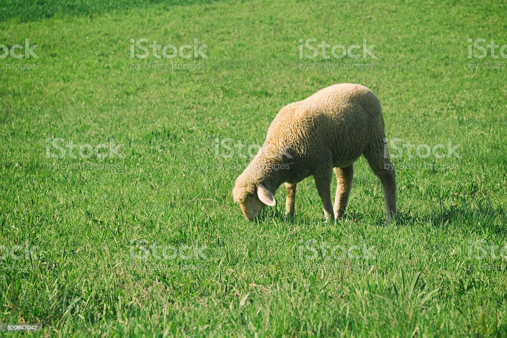 Sheep in the field. stock photo