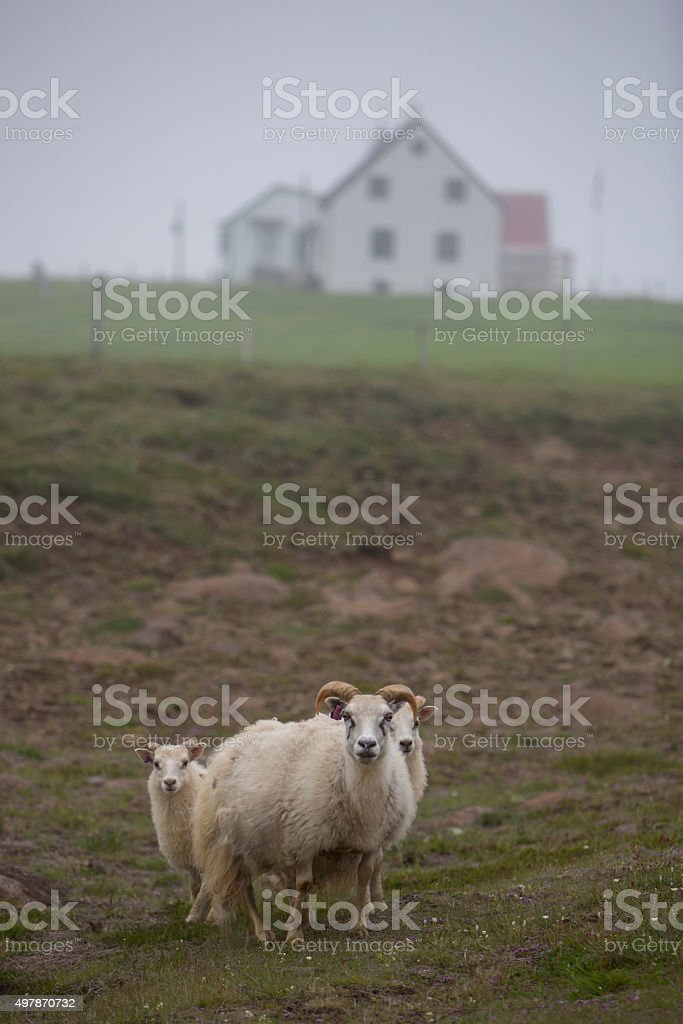 sheep in the fog, iceland stock photo