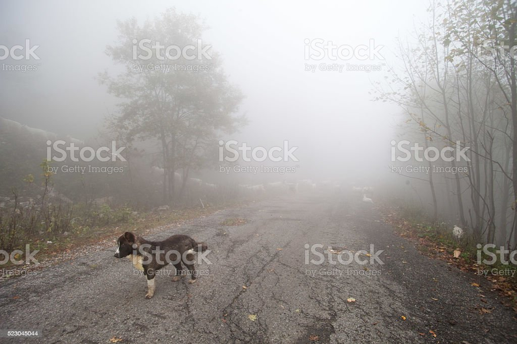 Sheep in the fog on a mountain road stock photo