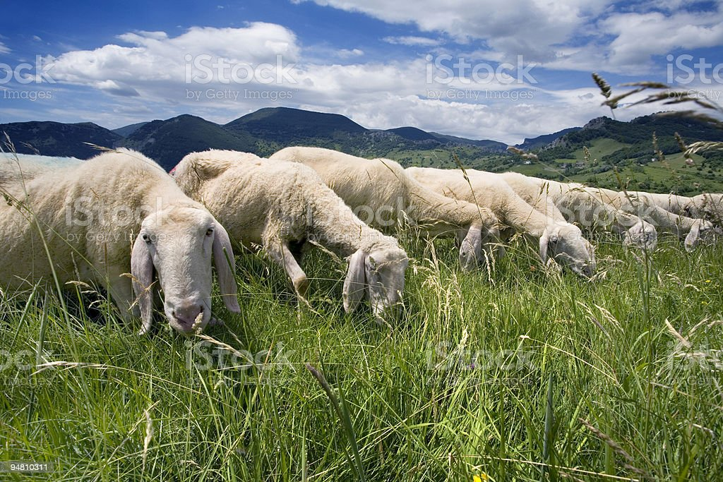 sheep in the grass royalty-free stock photo