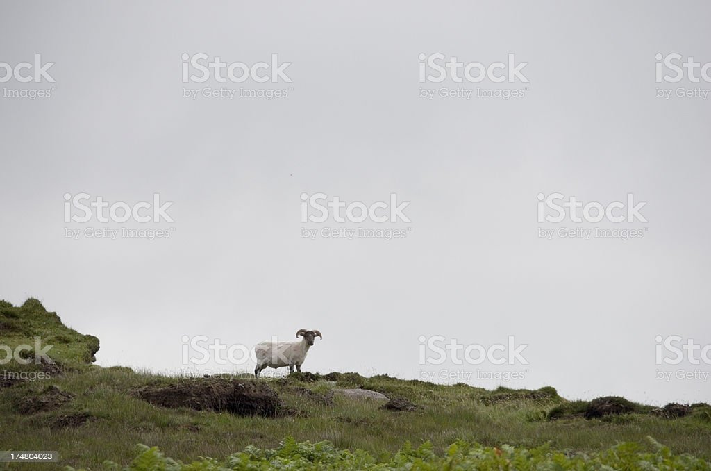 Sheep in the Irish Landscape royalty-free stock photo