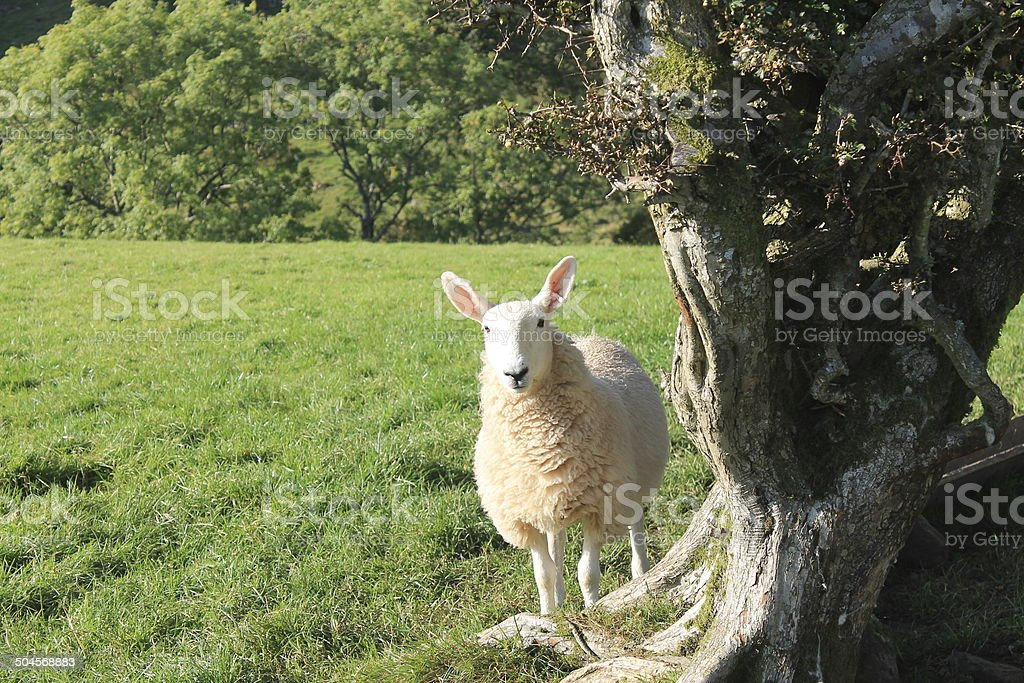 Sheep in the Lake District stock photo