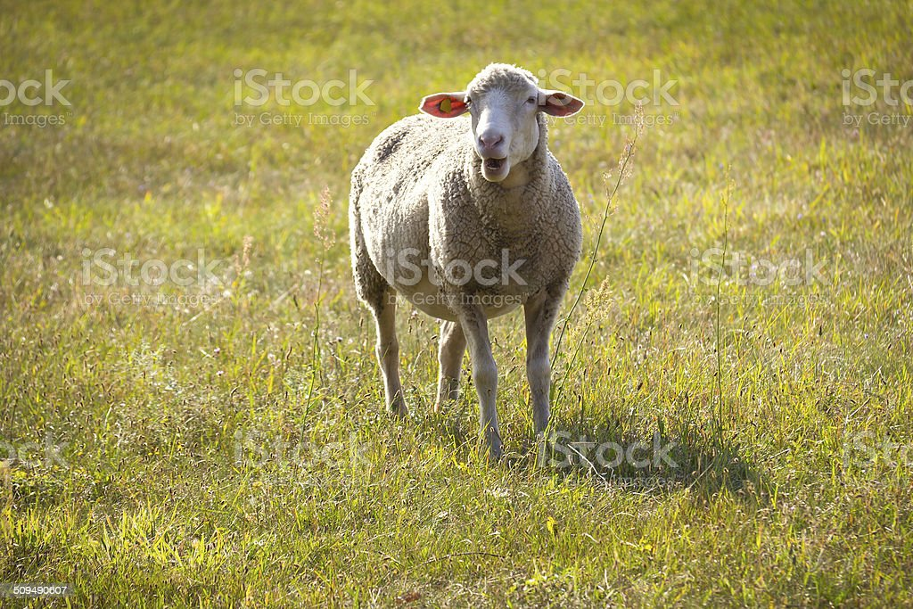 Sheep in the late afternoon stock photo