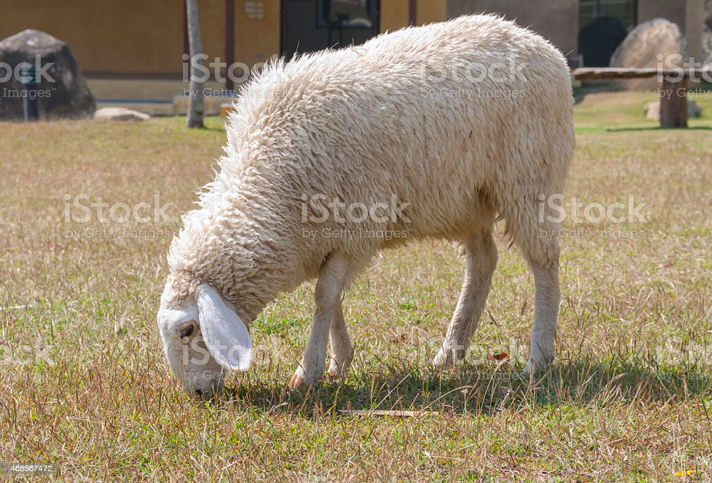 Sheep in the lawn closeup royalty-free stock photo