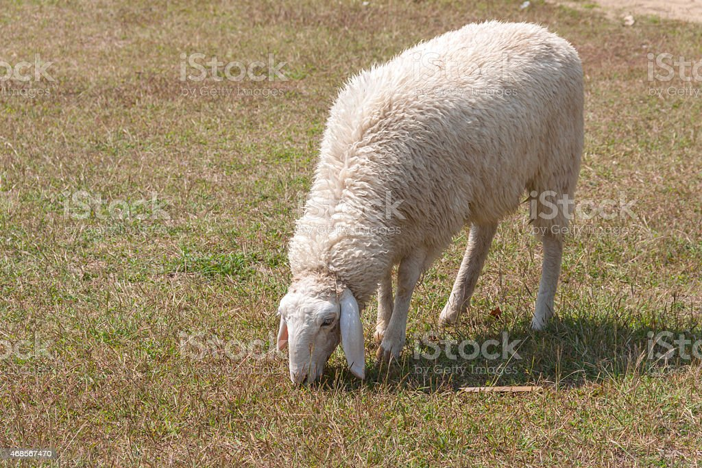 Sheep in the lawn royalty-free stock photo