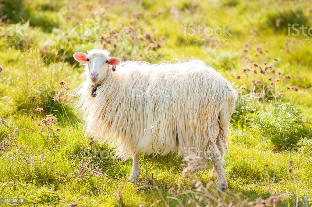 sheep in the meadow stock photo