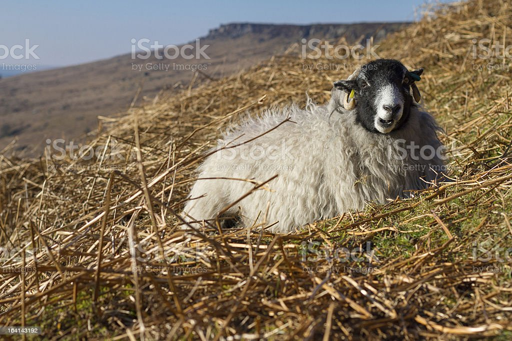 Sheep in the Peak District National Park stock photo