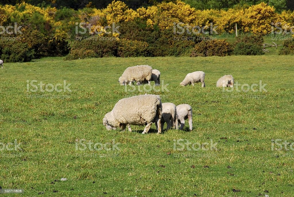sheep in the ranch royalty-free stock photo