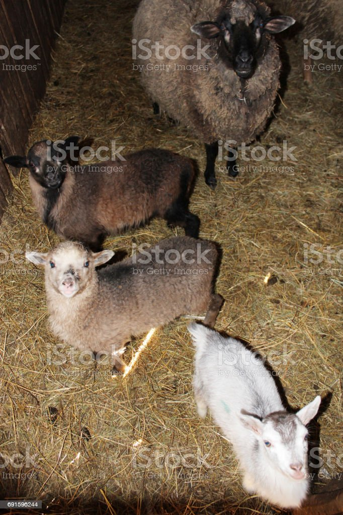 Sheep in the stall stock photo