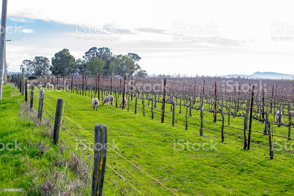 Sheep in the Vineyard , Napa, California stock photo