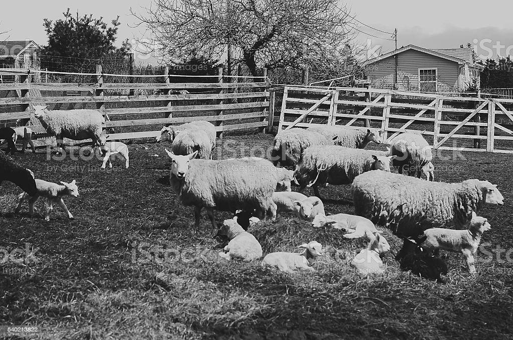 Sheep in thier pen. stock photo