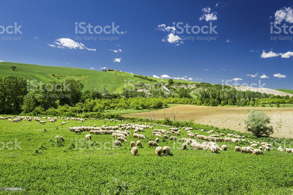 Sheep in Tuscany meadow, Italy royalty-free stock photo