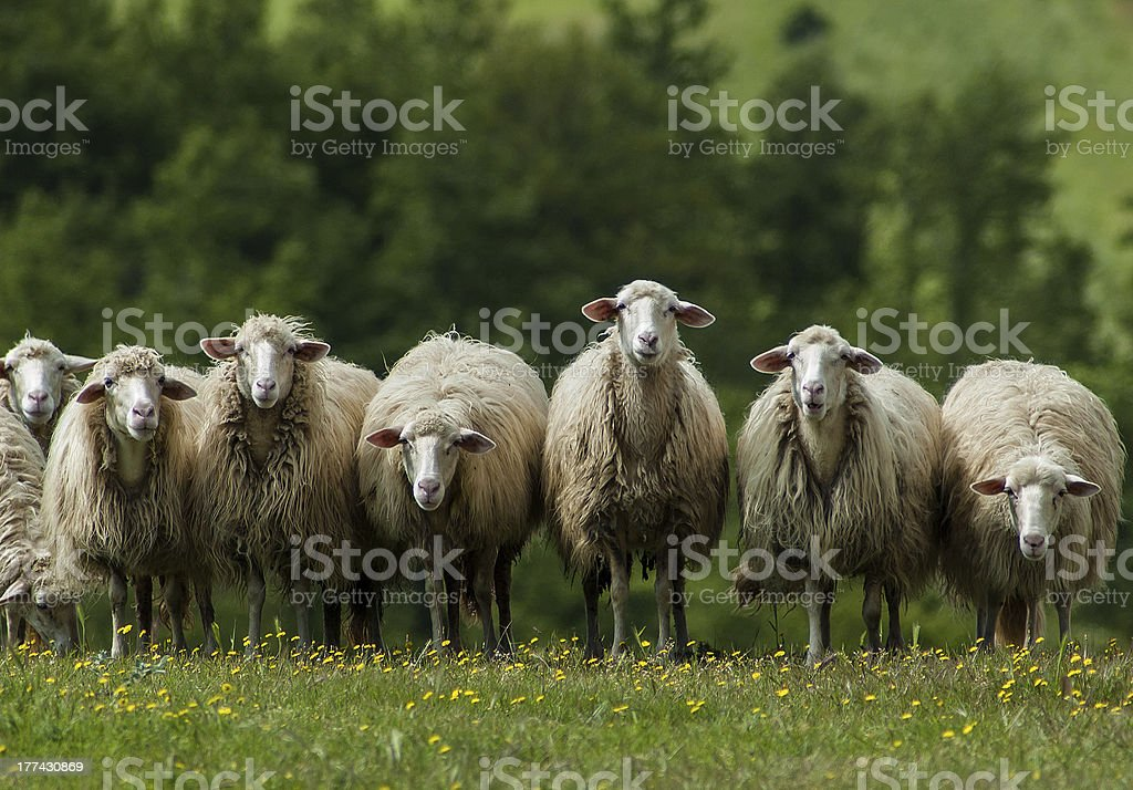 Sheep in Tuscany stock photo