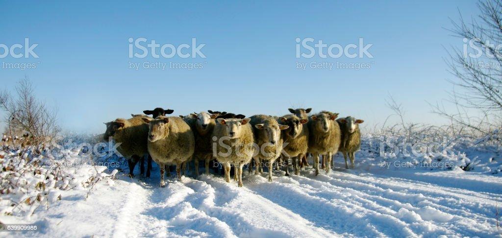 Sheep in winter landcape stock photo