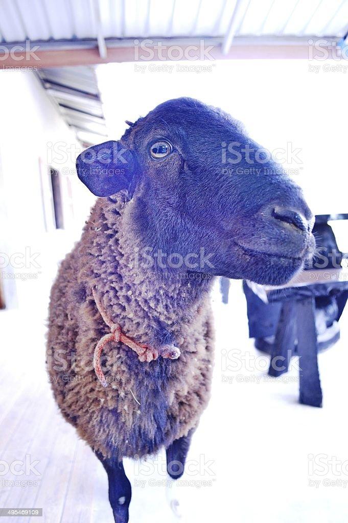 Sheep is cute. stock photo