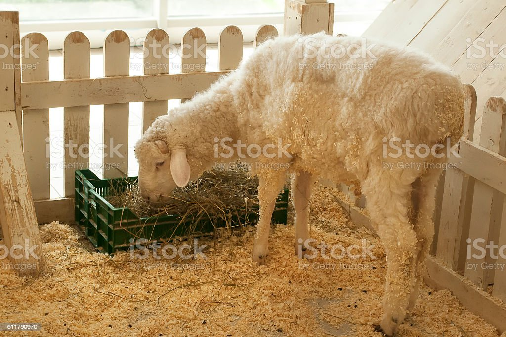 Sheep is eating inside the fence stock photo