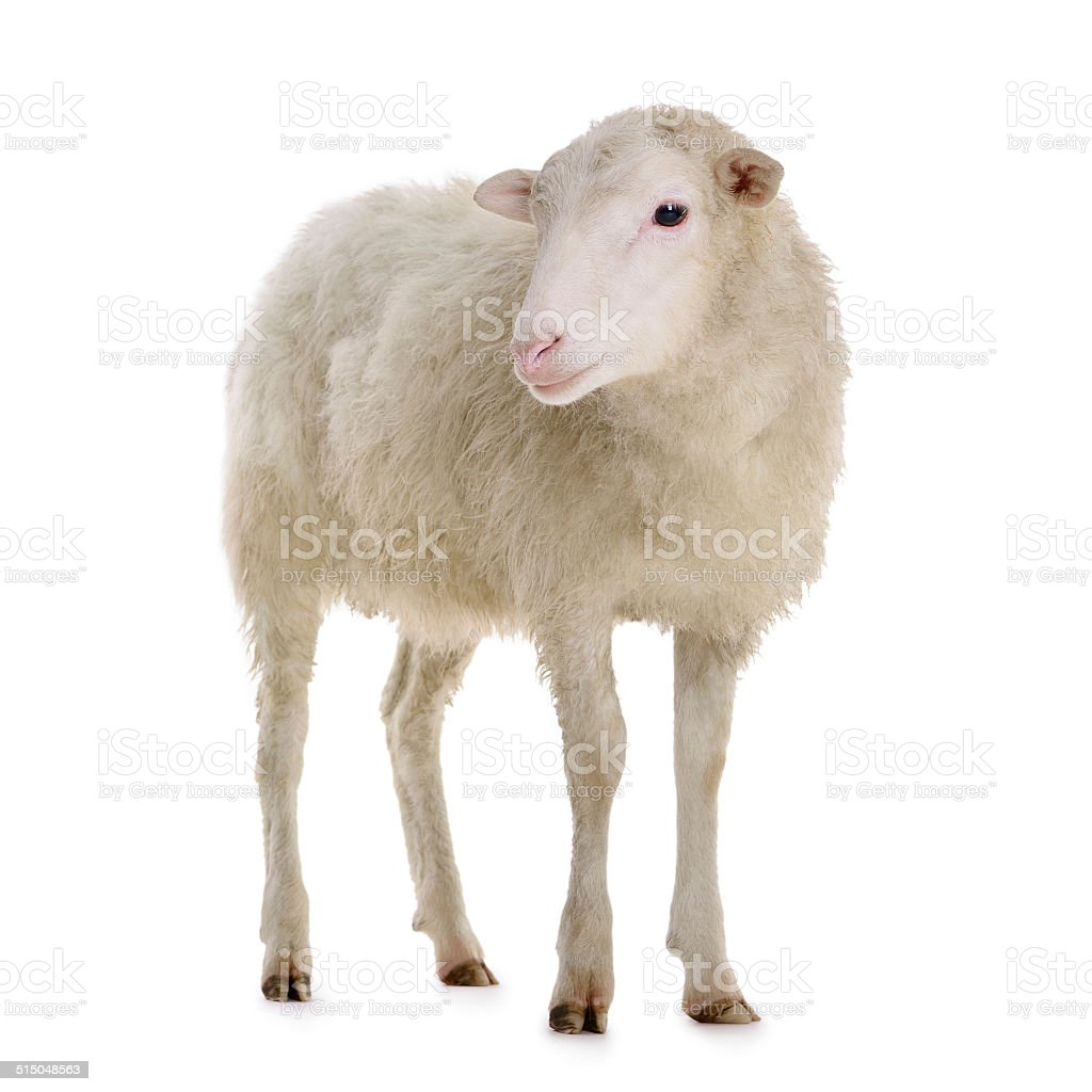sheep isolated on white stock photo
