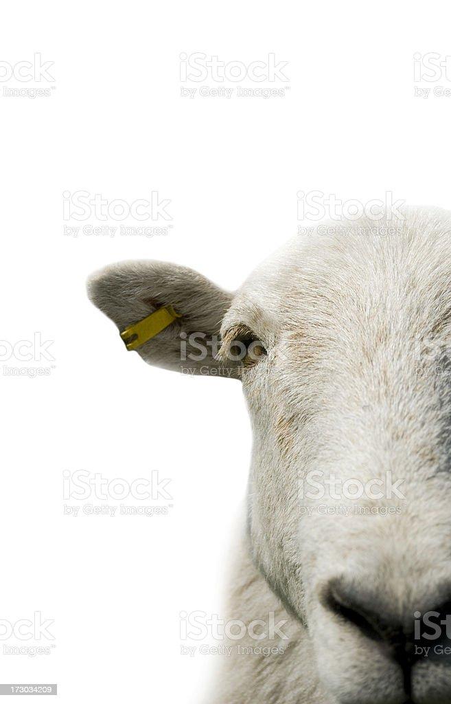 Sheep isolated royalty-free stock photo