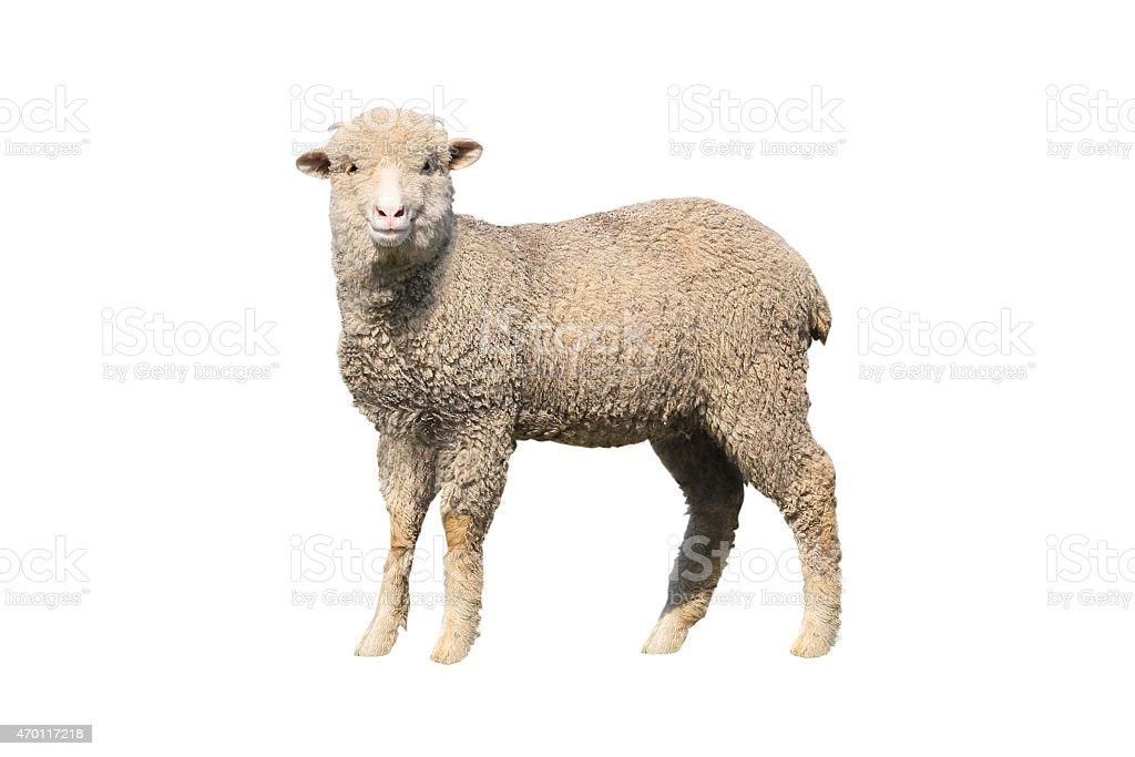 sheep isolated stock photo