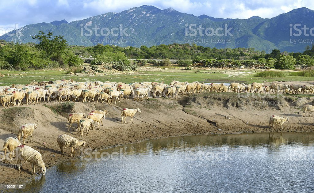 Sheep, lake and the mountains royalty-free stock photo
