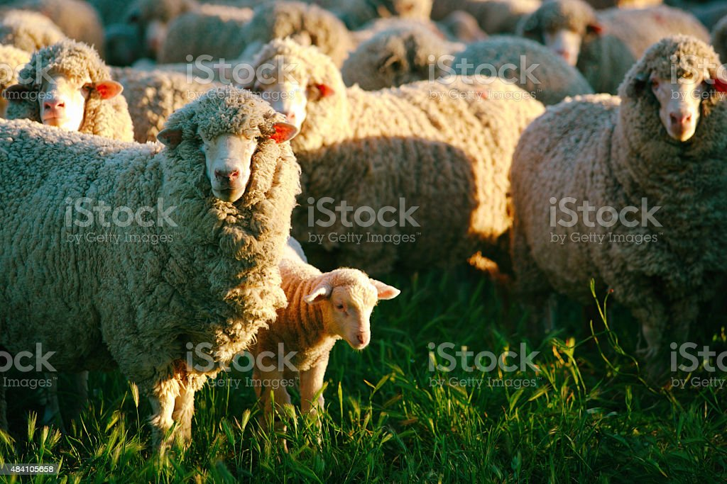 Sheep Lamb Flock Sidelight in the Afternoon Sunlight stock photo