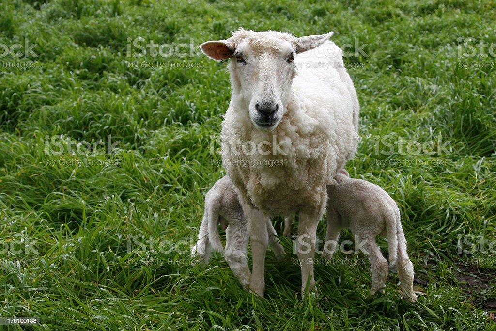 Sheep & Lambs royalty-free stock photo