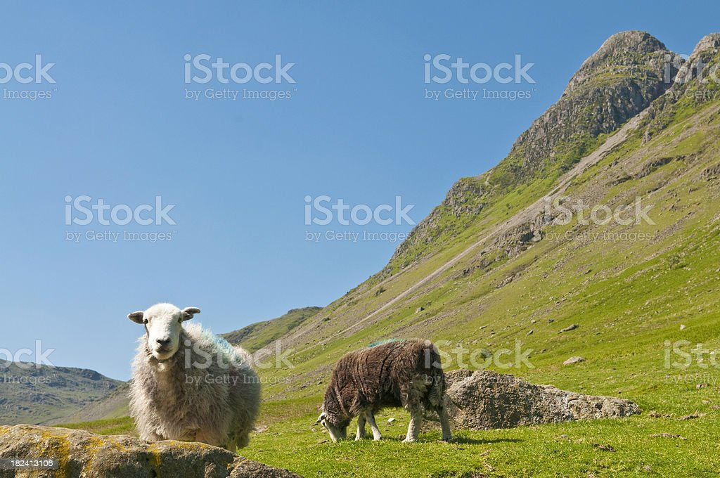 Sheep looking mountain valley green summer pasture Lake District UK royalty-free stock photo