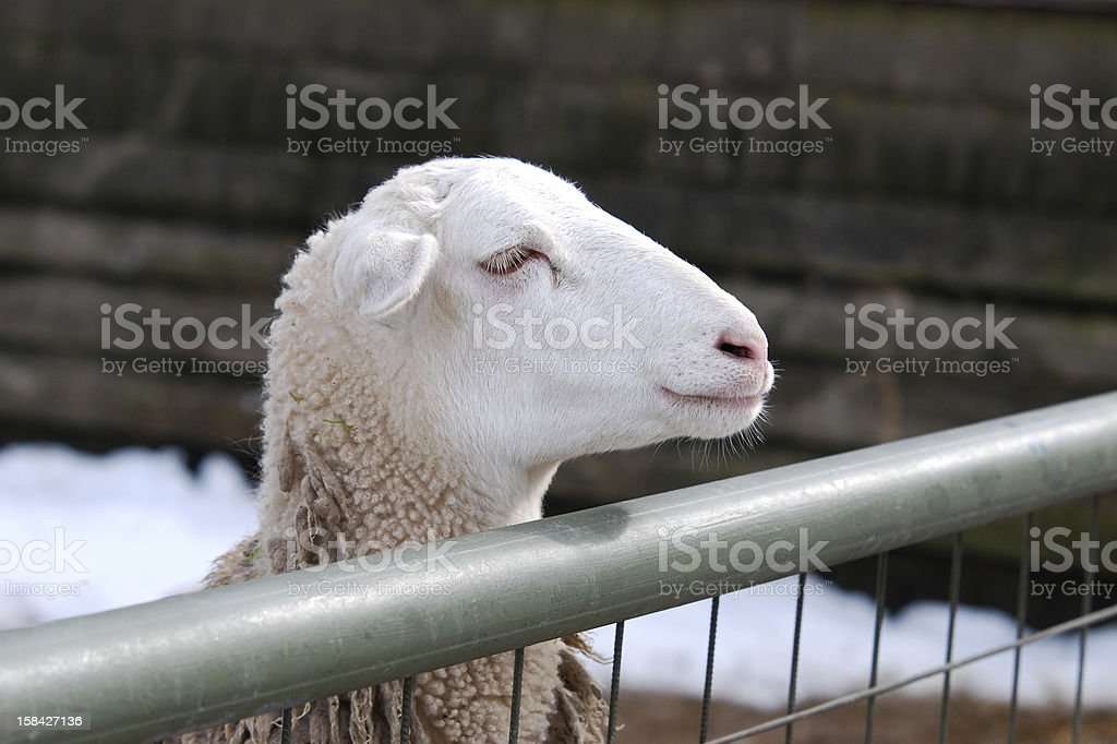 sheep looking over a fence stock photo