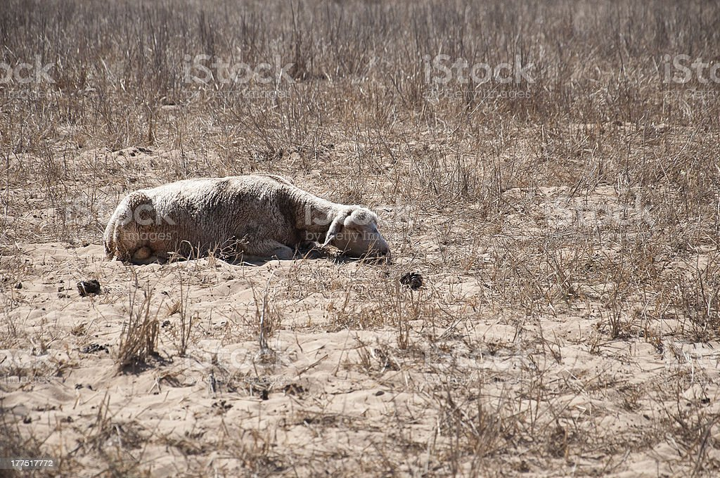 Sheep lying in a dry landscape royalty-free stock photo