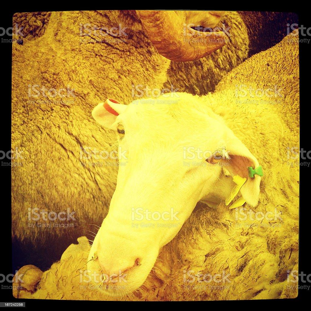 Sheep market in Turkey stock photo