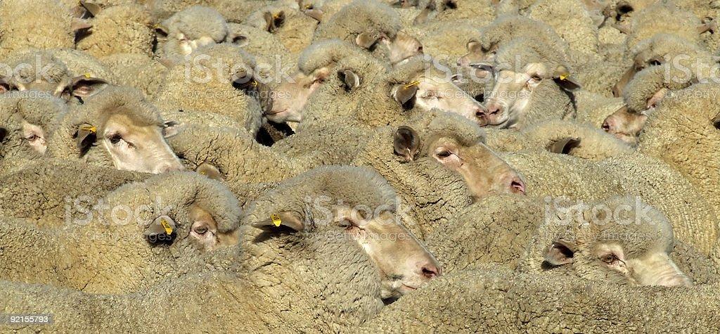 Sheep - Mob royalty-free stock photo