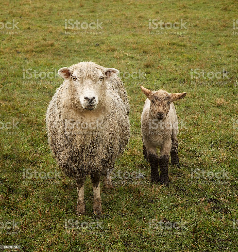 Sheep Mother and Baby stock photo