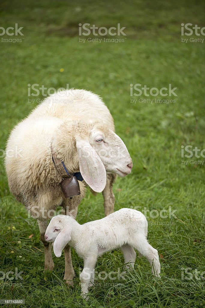 Sheep mother and lamb stock photo