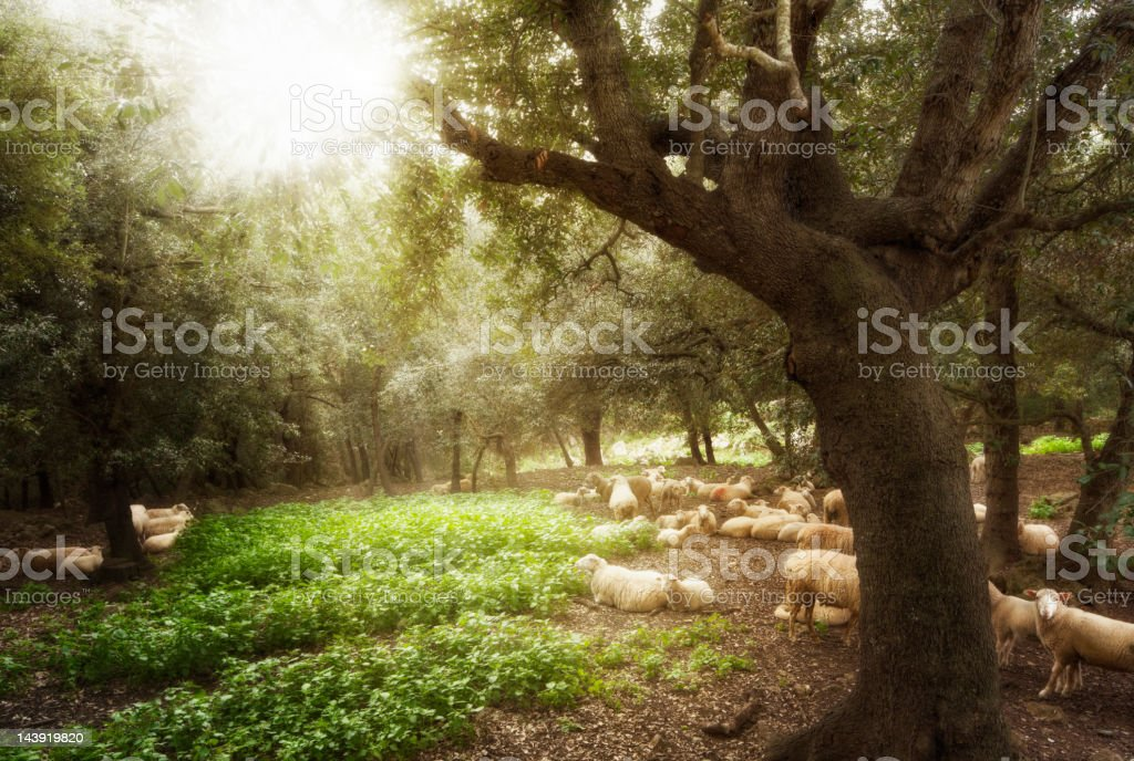 Sheep on a Glade royalty-free stock photo